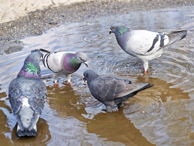 PIGEON PROPRE, solution anti-pigeon